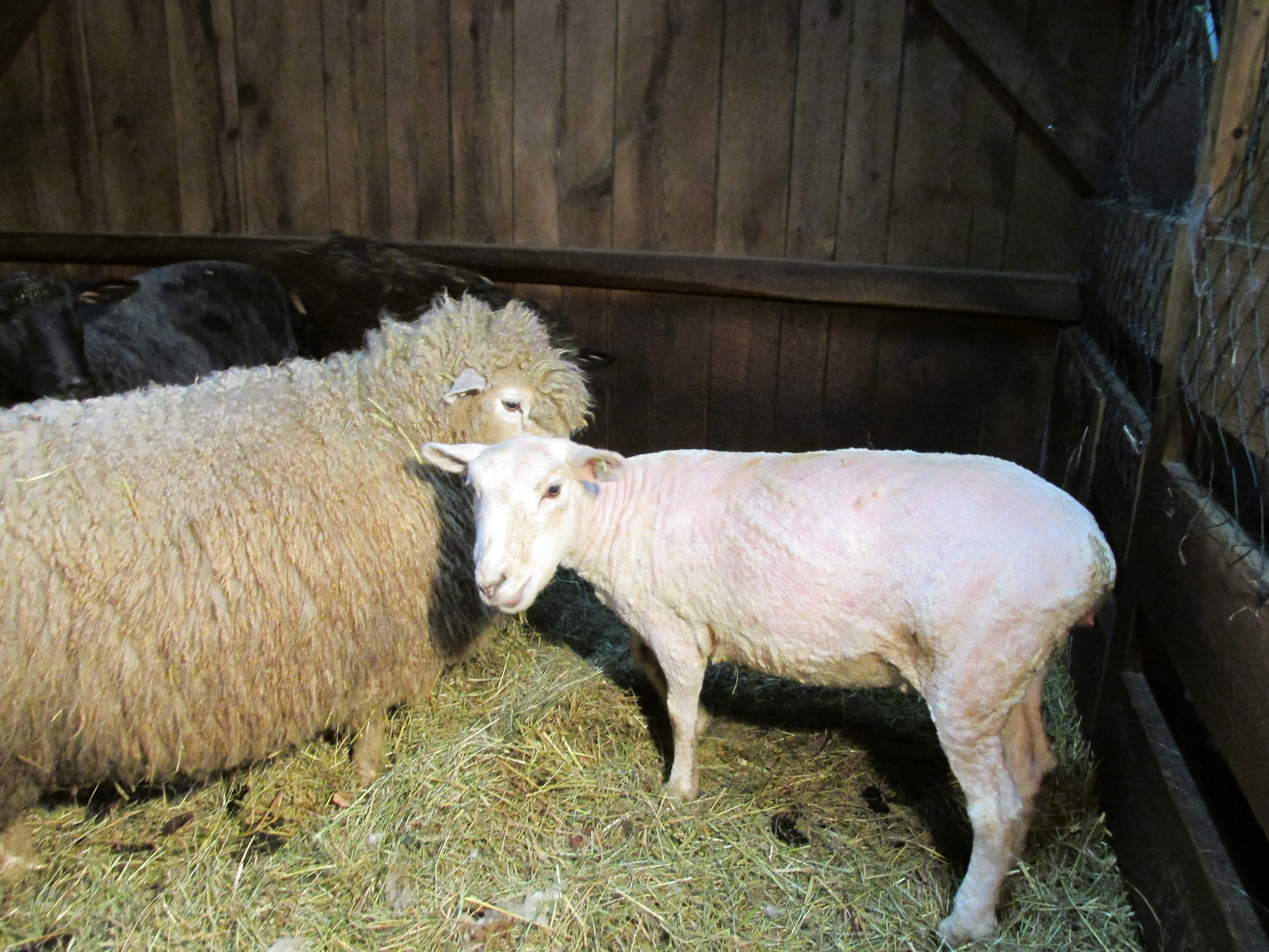 sheering sheep Online shopping from a great selection at pet supplies store.