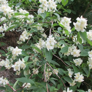 The Mock Orange is glorious this year.