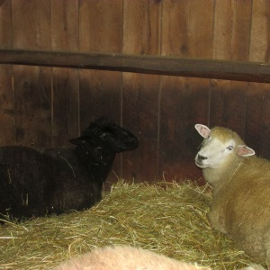sheep and pillow 008