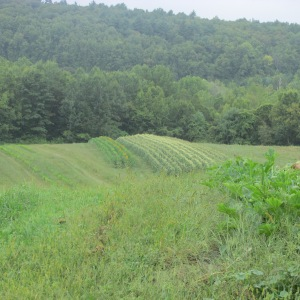 VIEW OF GTHE FARM STAND'S CORN FIELDS GMO FREE