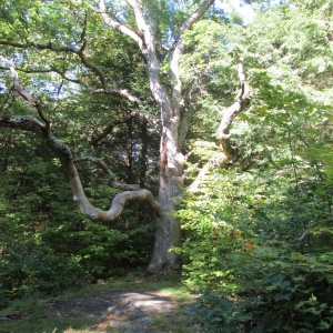 A WONDERFUL TREE ON THE WAY TO HIGH LEDGES