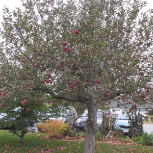 ONE OF THE BEAUTIFUL ANTIQUE APPLE TREE'S LOCATED IN FRONT OF THE INN