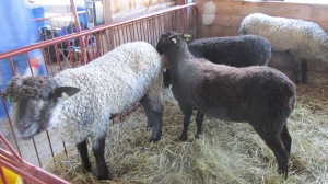LINCOLNS AND BORDER LEICESTERS