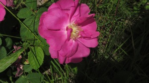 WILD ROSES AT JOHNSON HILL FARM