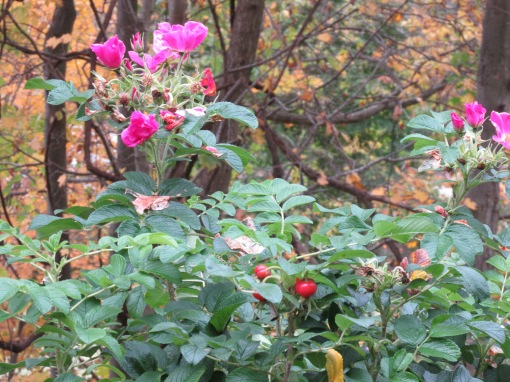 LAST ROSES OF SUMMER AND THEY SMELL  WONDERFUL