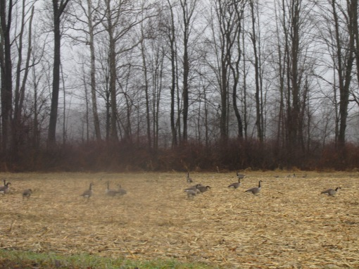 Canadian Geese cleanning up the cornfields in Greenfield.