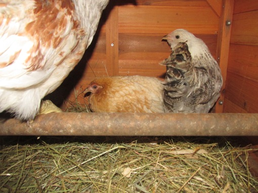 Emma is the buff colored Bantam and Rosemary is next to her the bigger bird is Dorothy