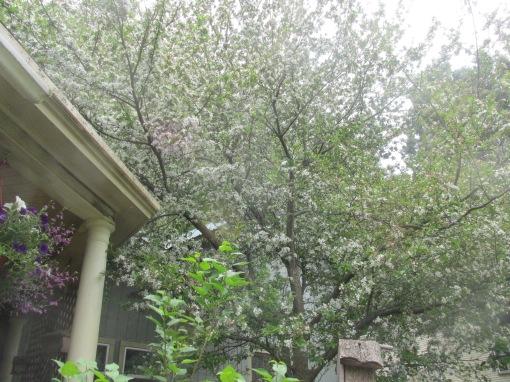 DWARF CRAB APPLE TREE11111