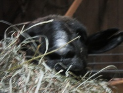 Maaaaaaaaaaaa there is not enough clover in this hay was the morning call from Lucy