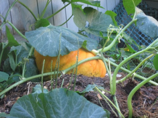 The manure pile is a great place for a pumpkkin to grow!